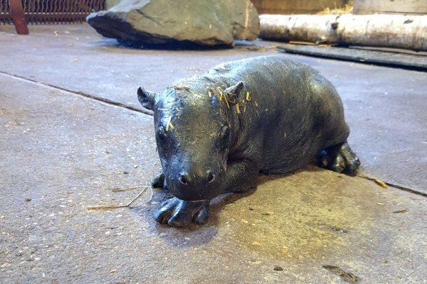 Brentwood Live: Visitor will hopefully be able to see the zoo's new pygmy hippo in a few weeks